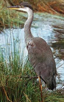 The Grey Heron is a common year round resident in lagoons and marshes within the Delta and northern Sinai, living off of fish