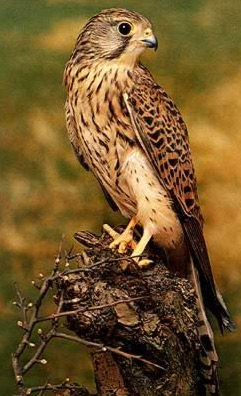 BIRDSKestrel-jpeg-300