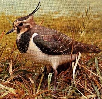 The Lapwing is common visitor to fields and marshes in Egypt