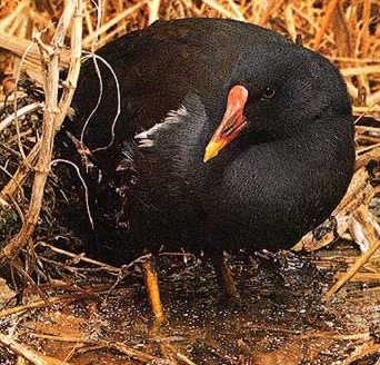 Moorhens are common in Egyptian ponds, lakes and rivers with shore  vegetation