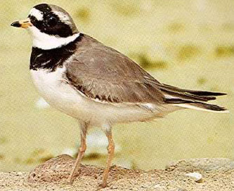 The Ringed Plover is a common winter visitor on mudflats and beaches, often in small flocks