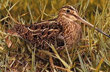 The snipe is a common winter and passage visitor to Egypt that one finds in marshes and welands with dense vegetation