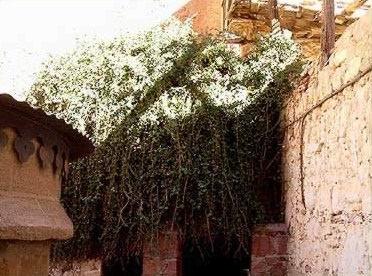 The burning bush of Moses  fame at St. Catherine's Monastery