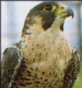 The Lanner Falcon, the symbol of the Ancient Egyptian god Horus