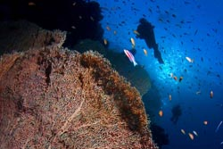 Scuba diving and the corals