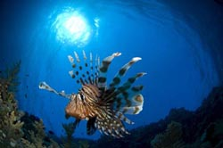 Lion fish and corals