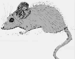 The spiny mouse is named after the coarse spine-like hairs that cover its back.