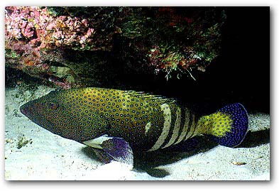 Bluespotted Grouper