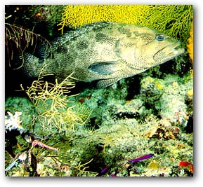 Smalltooth Grouper