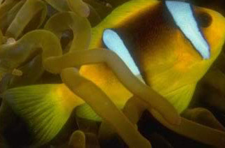 The Clown Fish swims unharmed through the Anemone's stinging tentacles