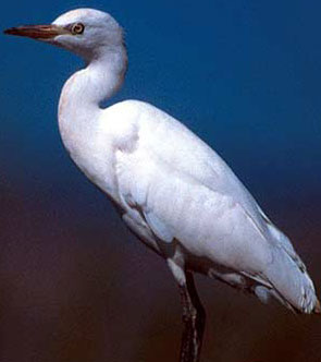 A Cattle Egret, common to Egypt
