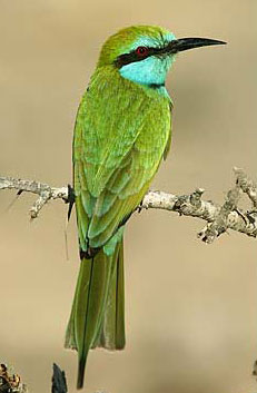 The Little Green Bee-Eater