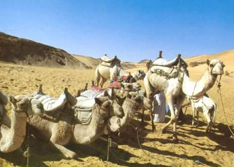 Camels Waiting for a Trek outside of Aswan