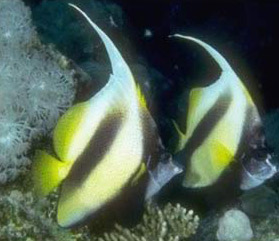 Brightly-colored Bannerfish dance amongst the coral reef