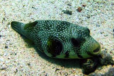 Bristly Puffer Fish in the Red Sea