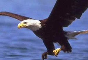An eagle over Lake Burullus