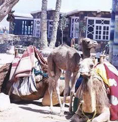 Creature of the Desert, Camel