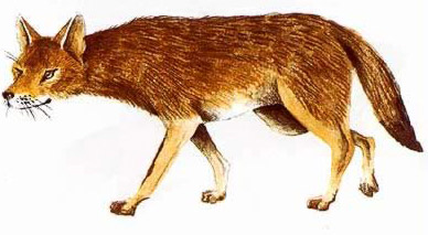 Drawing of Jackal (Asiatic Jackal, Golden Jackal, Common Jackal, Canis aureus Linnaeus)
