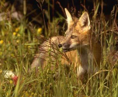 A view of a Red Fox (Nile Fox, Vulpes vulpes)
