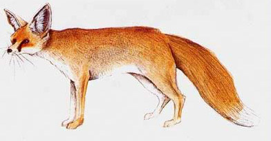 Drawing of a Ruppell's Sand Fox (Vulpes rueppelli)