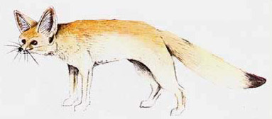 Drawing of a Fennec Fox (Vulpes zerda)