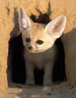 A Fennec Fox in his habitat in Egypt