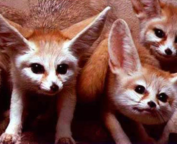 A view of several Fennec Foxes (Vulpes zerda)