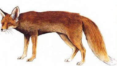 Drawing of the Red Fox (Nile Fox, Vulpes vulpes)