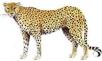 Cheetah (Hunting Leopard, Acinonyx jubatus)