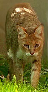 Swamp Cats ((Jungle Cat, Felis chaus)