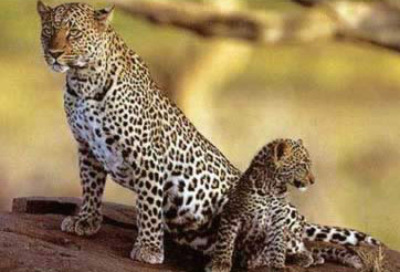Leopards (Panthera pardus)
