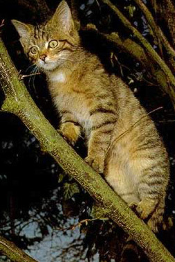 Felis Silvestris, the epitome of the ferocious African Wild cat :-)