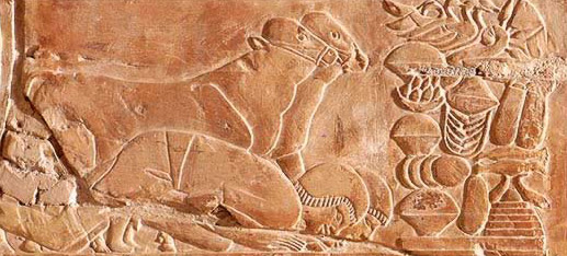 Cattle with no horns depicted in the tomb of Khaemhat on the West Bank at Thebes