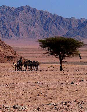 Bedouin Camels in the Sinai Desert