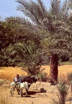A typical view in the modern Fayoum of Egypt