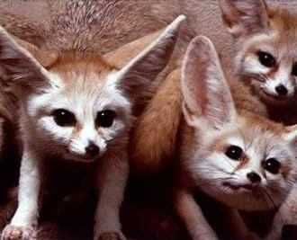 A pack of fennecs on the prowl for dinner