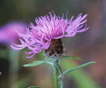 The cornflower (Centaurea depressa)