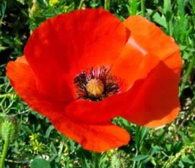 The red poppy (Papaver rhoeas)