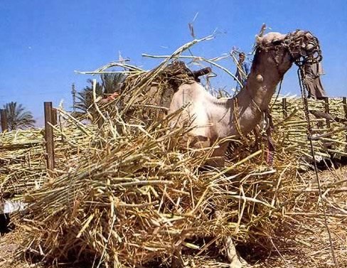 Camel Taking a Roll in the Hay