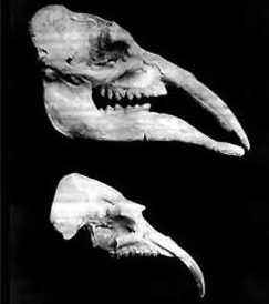 Fossils of Faiyum Proboscidea -- [added April 23, 2001] Gomphotherium (top) and Phiomia (bottom)