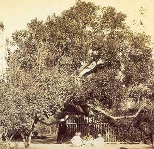 An old picture showing pilgrims sitting beside the Tree of the Holy Virgin at Matariya