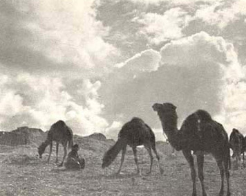 Camel solilque - late afternoon at Dakhala Oasis