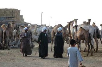 The Cairo Camel Market, known as Birqash