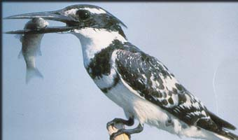 The Pied Kingfisher snaps up his dinner