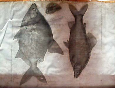 Original drawings of fish from the Description of Egypt compiled by Napoleon's scholars