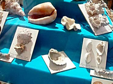 Many different forms of seashells are on display