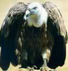 The Griffon Vulture