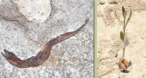 Left: An eel washed ashor; Right: a young Mangrove plant