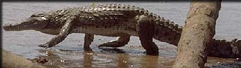 The crocodile lifts up to walk on his short but powerful legs.