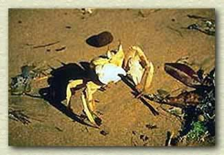 A Crab at Omayed